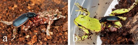 חיפושית אפומיס בוגרת טורפת קרפדה ירוקה (a) ואילנית מצויה (b). צילום: גיל וויזן, מתוך ZooKeys