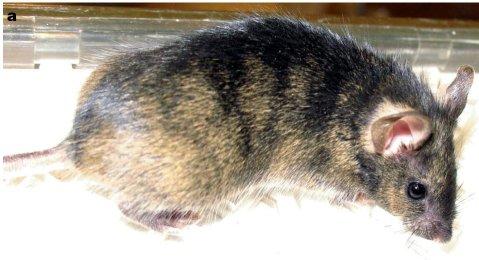 עכבר שחלק מתאיו מקורם בתאי הגזע שנוצרו במעבדה