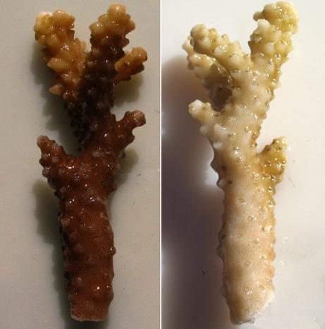 אלמוג שהלבין כתוצאה מחשיפה למסנני קרינה