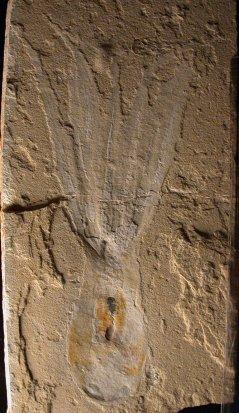 מאובן שנתגלה בלבנון של התמנון Keuppia levante