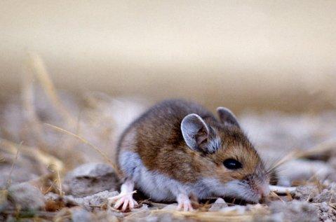 עכבר האייל