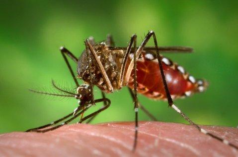 יתושת אדס מצרי (Aedes aegypti)