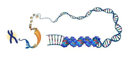 מבנה ואריזת ה-DNA