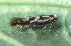 עש בוגר מהמין Phyllonorycter blancardella. צילום: Ian Kimber
