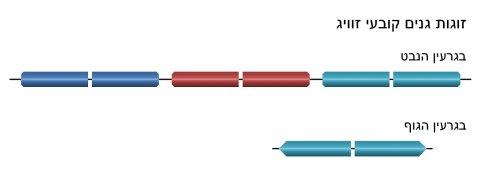 קביעת הזוויג בטטרהימנה. בגרעין הנבט זוגות גנים לא שלמים. בגרעין הגוף זוג אחד ושלם. זוג זה מתקבל לאחר שהזוגות האחרים נמחקו באקראי והוא זה שקובע את הזוויג.