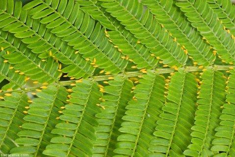 עלעלי השיטה Acacia hindsii וגופיפי מזון בקצותיהם.