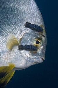 """פְּלָטַקְס (""""דג עטלף"""") שלראשו צמודים סרטנים טפילים ממשפחת Cymothoidae"""