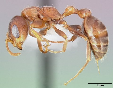 נמלה מהמין Pseudomyrmex ferrugineus. צילום: April Nobile/AntWeb.org, CC-BY-SA