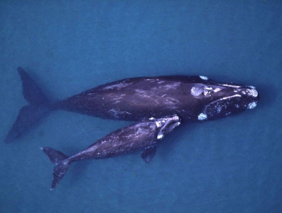 נקבת בָּלֶנה עם גורה. אפשר להבחין בכתמים הלבנים שיוצרים כיני הלווייתן, שהם סרטנים טפילים שהתיישבו באזורים דמויי היבלת על ראשם.