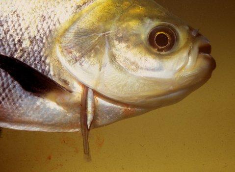 דג קנדירו מהמין Vandellia cirrhosa ניזון מדמו של דג פָּקוּ שחור