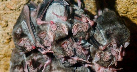 עטלפי ערפד