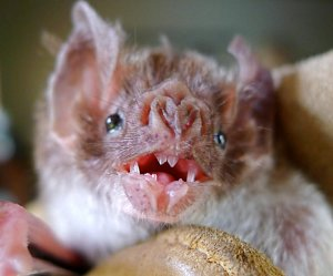 שיני ערפד