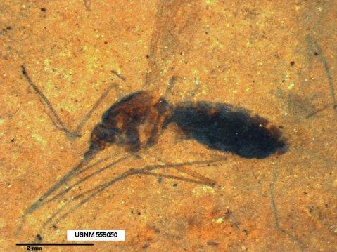 מאובן יתושה מהסוג Culiseta וארוחת הדם שלה