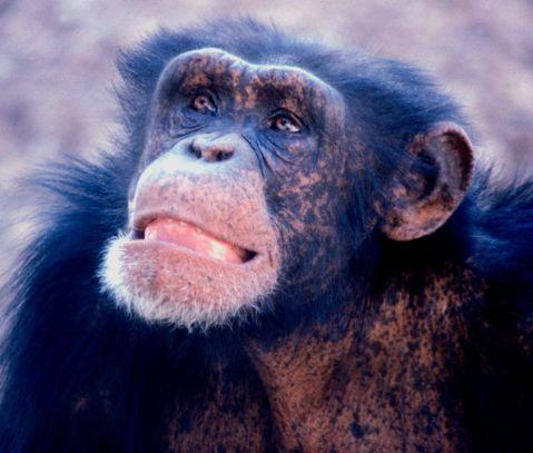 שימפנזה צעיר