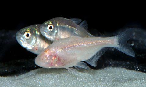 דג מערות עיוור ושני דגים קרובים, החיים בסביבה מוארת ולא איבדו את ראייתם