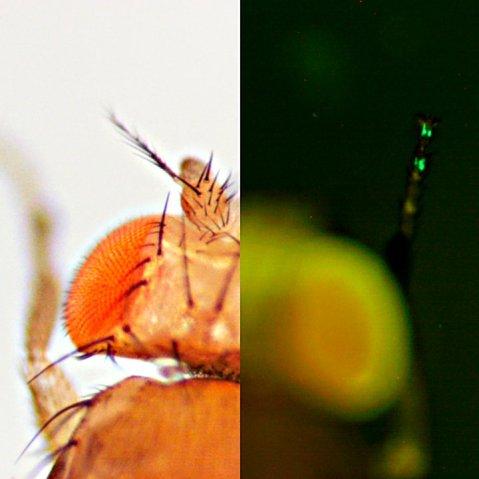 גנים המתבטאים בקצות רגליהם של זבובי התסיסה קובעים על איזה צמח יעדיפו להטיל ביצים