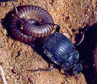 חיפושית זבל מהמין Deltochilum valgum גוררת רב-רגל