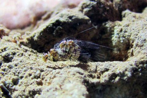 חרקים מהסוג Neotrogla מזדווגים