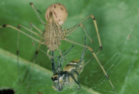 עכביש יורקן מתכונן לאכילת עכביש פינטלה