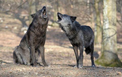זוג זאבים