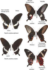 נקבות מהמין מורמוני מצוי מוצגות בחצאים השמאליים, החצאים הימניים הם של זכר מורמוני מצוי (שמאל) או של מיני זנב סנונית אחרים.