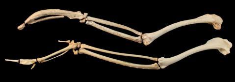 עצמות הכנף של המגלן בעל-האלה ושל מגלן בן ימינו.