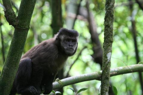 קוף קפוצ'ין בברזיל.