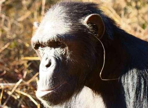 שימפנזה עם עלה עשב באוזנה