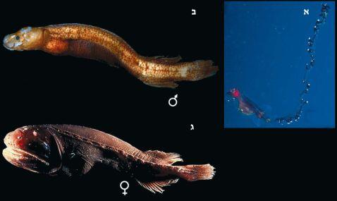 שלושת מופעי דג הלווייתן. לרווה, זכר בוגר ונקבה צעירה.