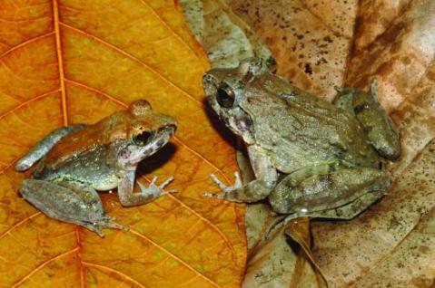 נקבה (ימין) וזכר (שמאל) של המין החדש של צפרדע בעלת ניבים.