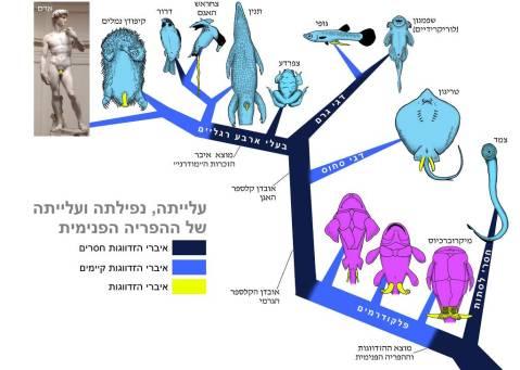 הופעתם והיעלמותם של איברי הזדווגות של זכרים במהלך האבולוציה.