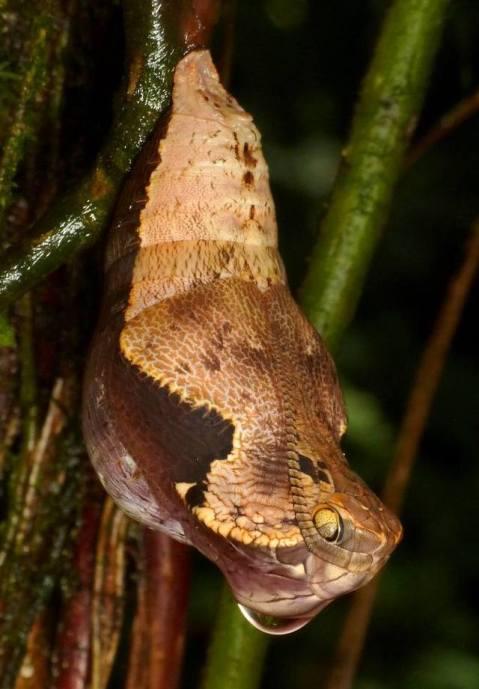 Snake mimicking Owl-Butterfly Chrysalis, Dynastor darius