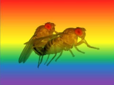 זבובי דרוזופילה מזדווגים על רקע צבעי הגאווה