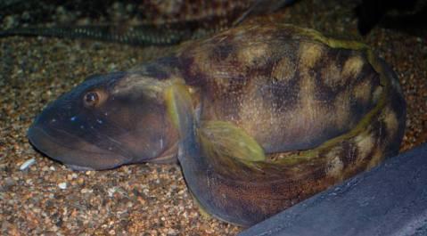 דג פּוּטית