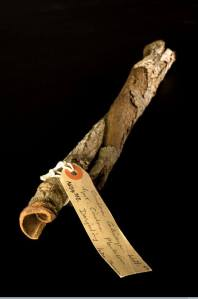 קליפה מגולגלת של עץ סינקונה
