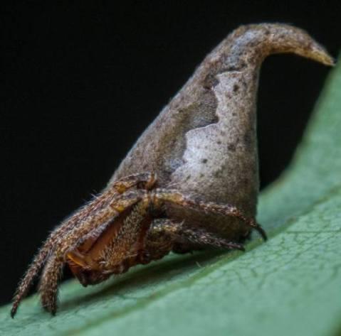 העכביש Eriovixia gryffindori הדומה למצנפת המיון מסדרת הארי פוטר