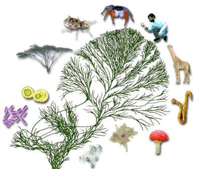 איור של עץ החיים. כולל חיידקים, ארכאונים ואיקריוטים